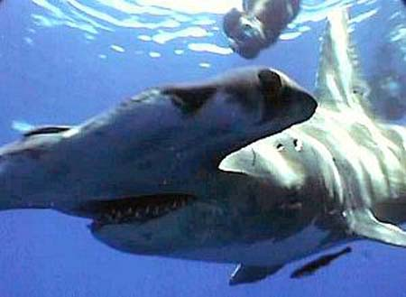 Great Hammerhead Shark - Information & Pictures of Hammerhead Sharks