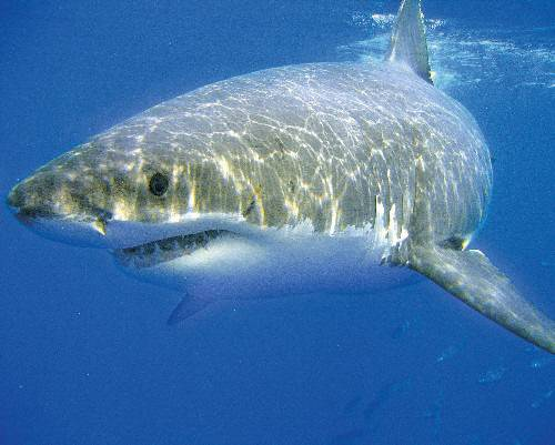 The Great White Shark is also known as the White Pointer Shark.